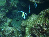 Mr First Moorish Idols, Isla Cocos