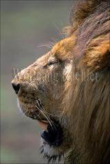 10055236 (wolfgangkaehler) Tags: africa portrait male animal closeup cat tanzania african wildlife profile lion ngorongoro crater ngorongorocrater predator eastafrica eastafrican ngorongorocratertanzania