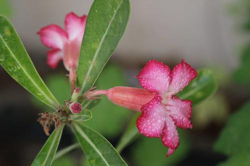 Adenium (Desert Rose)