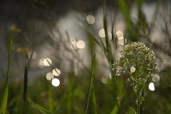 Bokeh (amin.m) Tags: flower spring nikon iran bokeh  d90