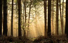 and oh it felt like a fairytale (andrew evans.) Tags: lighting wood morning trees light england sun mist tree nature misty fog fairytale forest sunrise landscape golden countryside kent spring woods nikon shadows warmth calm ethereal rays sunrays wonderland storybook magical 70200 f28 enchanted d3