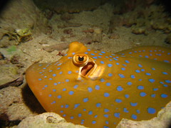 Blue-Spotted Stingray
