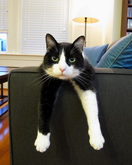 Oliver with Arms Extended (Mr.TinDC) Tags: oliver pets cats felines kitties tuxedocats blackandwhitecats blackwhitecats animals mammals arms paws legs cute moggy personalfavorite famous viral lifestooshortformatchingsocks