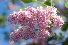 Arnold Arboretum, 15 May 2010: Pink & white lilac blooms (Chris Devers) Tags: flowers trees flower tree boston forest ma spring blossom massachusetts harvard arnold arboretum lilac bloom harvarduniversity bostonma lilacs 2010 arnoldarboretum emeraldnecklace cameranikond50 exif:exposure_bias=0ev exif:exposure=0004sec1250 exif:focal_length=50mm exif:aperture=f28 treemuseum camera:make=nikoncorporation exif:flash=autofiredreturndetected camera:model=nikond50 exif:lens=50mmf18 meta:exif=1274018077 exif:orientation=horizontalnormal exif:filename=dscjpg exif:vari_program=auto exif:shutter_count=43686 meta:exif=1350398403