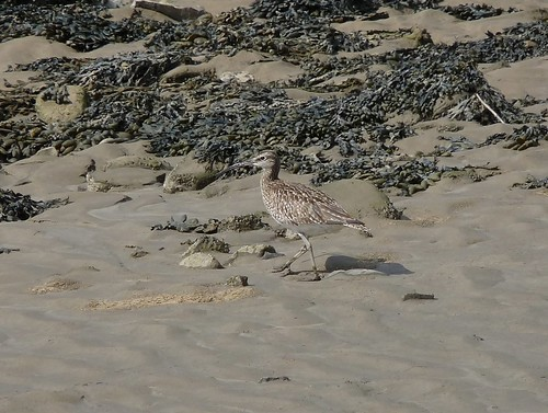 12450 - Whimbrel at Loughor Bridge