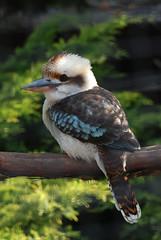 [フリー画像] 動物, 鳥類, カワセミ科, ワライカワセミ, 201005190900