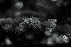 (kelly.marie) Tags: blackandwhite bw tree monochrome canonef50mmf18 evergreen needles kellymarie kellywebster
