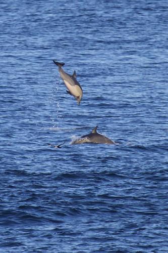 Common Dolphin (Delphinus)