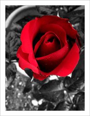 Une rose... (Arnu006) Tags: red blackandwhite bw flower color fleur rose rouge noiretblanc sweet nb selective couleursslectives sweetselectivecolor