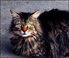 Tatar  ~ MjYj (MjYj) Tags: wild cat tatar mjyj mjyj