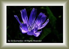 edphoto-2621 (Ed. Guimares) Tags: flower closeup hibiscus violeta purpura mywinners edphoto