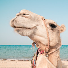 Beach Camel (christian.senger) Tags: travel blue sea sky brown beach nature water animal digital geotagged outdoors eyes sand nikon asia desert turquoise frombelow camel fascination rein qatar astonishment lightroom d300 christian_senger:year=2010 gettyvacation2010