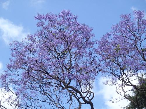 Jacaranda mimosaefolia (Alto de S. Amaro)