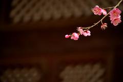 pink apricot blossoms 5 (moon_chuljin) Tags: camera digital design back view image live samsung series flange sensor highiso nx easytouse hdmi evf apsc beatyshot fastaf whycapturecreate 30amoled smartrange supersonicdustremovingfunction