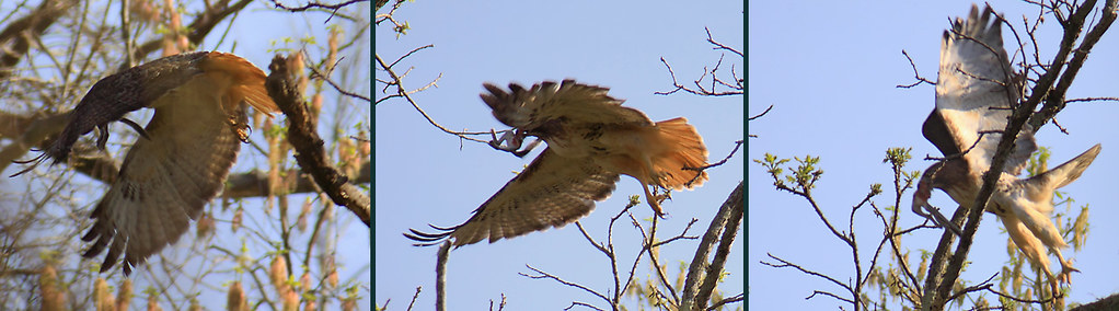 red-tailed hawk flying off