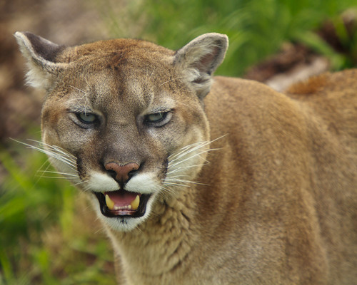 Growling Mountain Lion