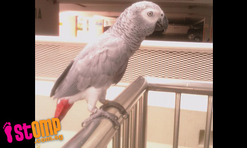 Grey African Parrot lost in Sengkang area