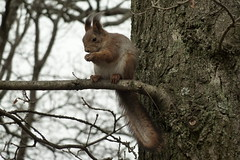 Squirrel in wind (v.kaego) Tags: squirrel orav