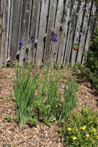 Super tall Irises