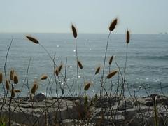 P1000084 (gzammarchi) Tags: italia mare natura fiore paesaggio ravenna cornice pianta riflesso camminata itinerario casalborsetti lagurusovatus codadilepre erbadimare