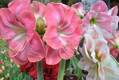 Amaryllis at Keukenhof Gardens (AGreatEuropeTripPlanner!) Tags: pink flowers flores netherlands gardens fleurs blumen amaryllis fiori fiore bloemen keukenhof lisse blhen bloeien keukenhofgardens florecen flores