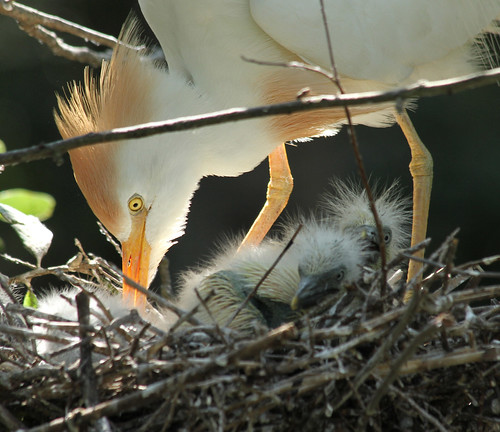cattle egret with young