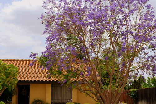 Jacaranda Yellow House