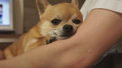 Looks like he's smiling :)) (kanonyobo) Tags: chihuahua video explore kanon nex nex3