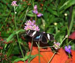 2010_June_9 Krohn Conservatory_Butterfly Show 191e (jjjj56cp) Tags: nature butterfly insect dorislongwing jennypansing