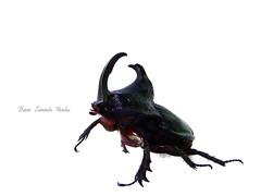 Coleoptera - Scarabeidae (Bruno Leonardo Mendes) Tags: life brazil nature animal brasil insect sony natureza places preto inseto vida lugares cor bicho mato dsc matogrosso grosso insetos h9 coleoptera ufmt besouro agronomia scarabeidae entomologia brunoleonardomendes