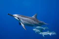 Hawaiian Spinner Dolphins (bodiver) Tags: ambientlight wideangle dolphins fins 437