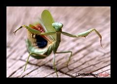 "KARATE KID (DIAZ-GALIANO) Tags: madrid macro verde canon bug mantis spain karatekid dagger soe 30d insecto supershot thegalaxy kartpostal mywinners abigfave anawesomeshot colorphotoaward theunforgettablepictures ¨dragon award¨ rubyphotographer diazgaliano paololivornosfriends panoramafotográfico saariysqualitypictures ""flickraward"" platinumpeaceaward bestofmywinners newgoldenseal ""flickraward5"" mygearandmepremium mygearandmegold ringexcellence dblringexcellence ¨tamron90macro¨ rememberthatmomentlevel1 rememberthatmomentlevel2 unlimitedinsectslevel1 unlimitedinsectslevel2 rememberthatmomentlevel10 vigilantphotographersunite"