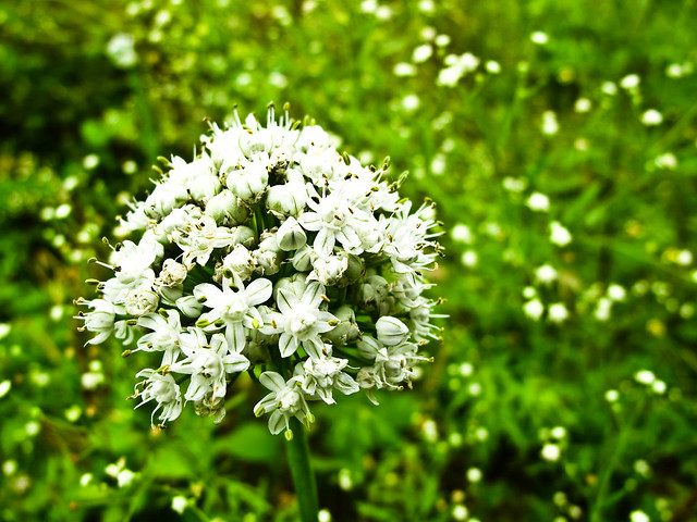 IMG_1094 葱花, The flowers of spring onion