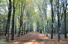 Autumn on the Veluwe (wandelgraaf(mostly off)) Tags: autumn herfst veluwe gelderland hoogsoeren bospad beukenlaan hoogbuurlo forstpath beechlane