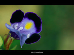 Velvet (Vijay..) Tags: blue flower macro nature yellow closeup canon velvet ef 70300 271 raynox explored dcr150 vijayphulwadhawa