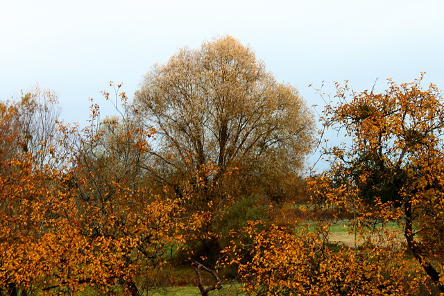 Les pommiers, le saule à l'automne