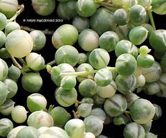 Senecio rowleyanus 'Variegata' (Kelley Macdonald) Tags: succulent seneciorowleyanus varigatedplant seneciorowleyanusvariegated