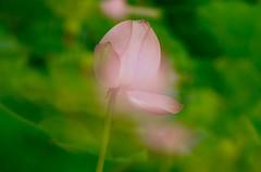 Shine from the inside (keiko*has) Tags: 7dwf friday flora lotus bud doubleexposure ハス 蕾 多重露光 大賀ハス 古代蓮の里 埼玉県 行田市 日本