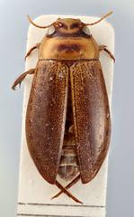 Senilites tristanicola Brinck, 1948 (Biological Museum, Lund University: Entomology) Tags: coleoptera brinck dytiscidae senilites tristanicola mzlutype00845 taxonomy:binomial=senilitestristanicola