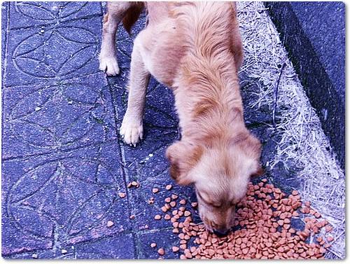 20091204「募資源與認助養」新竹內灣山區拾獲黃金獵犬小姐~需要醫療資源與助養費~最好能直接認養以便省下資源~拯救下一隻受難黃金~轉PO也是很重要~謝謝您