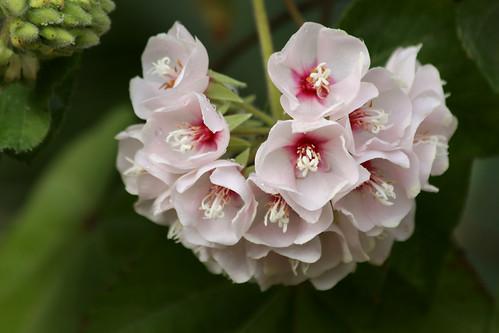Dombeya (Tropical Hydrangea)