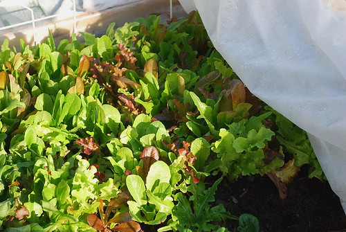 reanimated lettuce mix