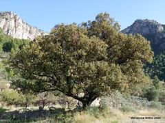 the tree (Marlis1) Tags: tree oak spain montes quercusilex steineiche card marlis1