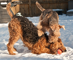 Lola & Charlie (βrσωning) Tags: winter dog snow playing canada cold dogs duo pair lola charlie terrier newbrunswick moncton doggy airedale adobelightroom nikond90 regalridge