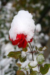 The hard balance - L'equilibrio difficile (Robyn Hooz) Tags: red snow flower hat rose canon garden rosa sigma os neve passion flakes fiore rosso cappello giardino padova ghiaccio passione fiocchi 18125 hsm mywinners 1000d