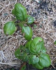 Garden - sad basil