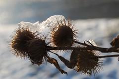 winter macro (pacific sphere) Tags: saveearth