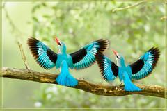 Welcome to the New Year! (hvhe1) Tags: africa blue bird nature beautiful southafrica wings bravo wildlife kingfisher gamereserve malamala woodlandkingfisher specanimal animalkingdomelite avianexcellence rattrayscamp