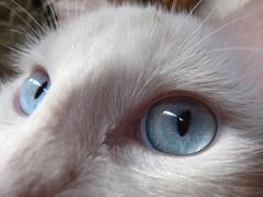 (Eru!!) Tags: blanco amor ojos gato vista primera azules bichin erune