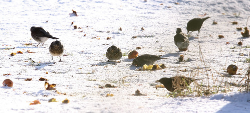 Fieldfare and Apples 1